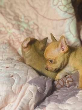 Chihuahua hermosos