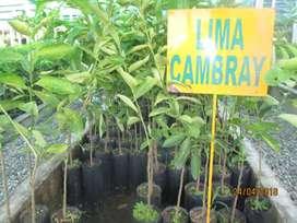 VENTA DE PLANTONES DE LIMA CAMBRIDGE
