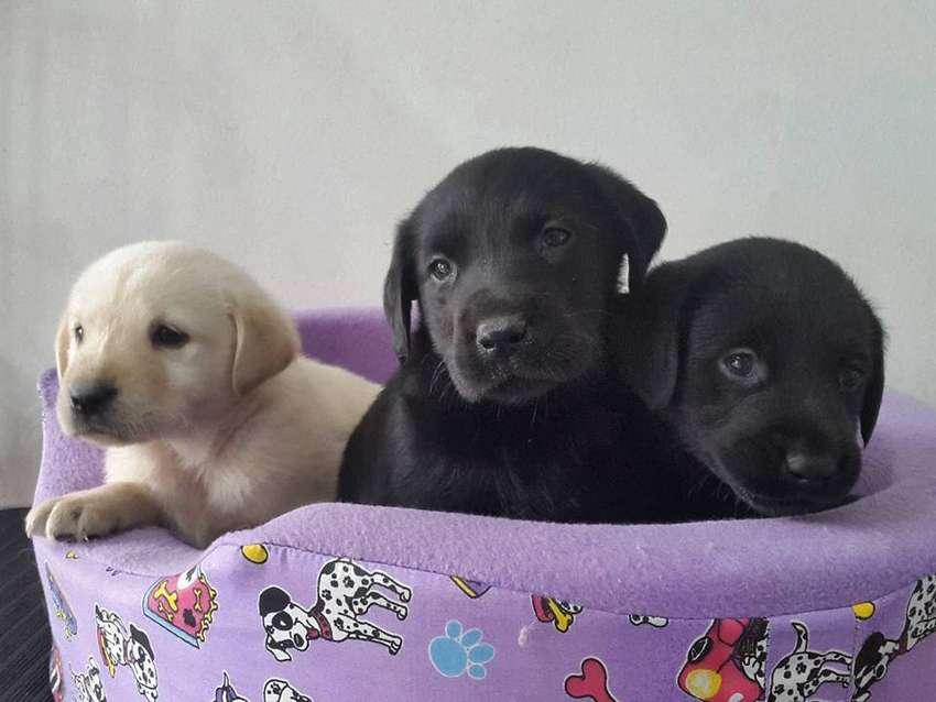 LABRADORES DE MUY BUENA GENETICA Son los más hermosos y bellos cachorros de la raza 100% puros, con su esquema de vacuna