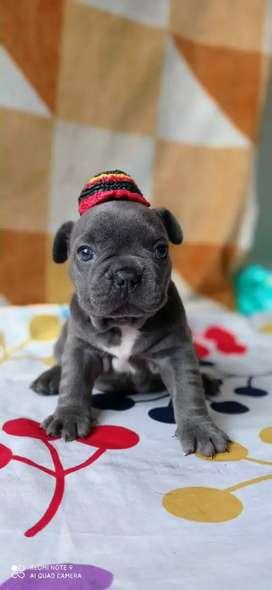 Hermosos niños bulldog frances