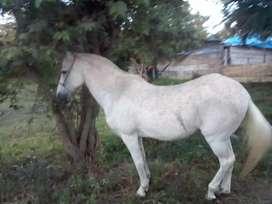 Vendo caballo trochador en Rozo
