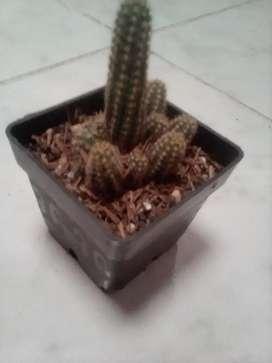 Cactus pequeño real.