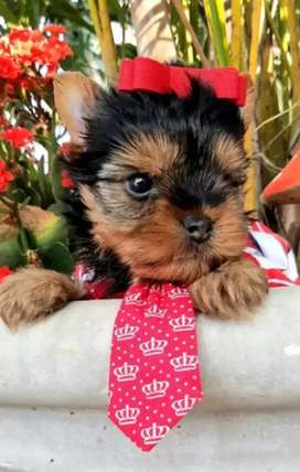 A la venta cachorritosYorkshire terrier mini