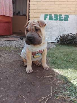 Cachorro raza shar pei full pedigree.