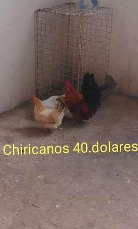 Chiricanos gallo y gallina