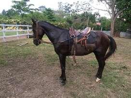 Vendo caballo trochador capon