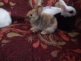 Vendo conejitos cruza con enano