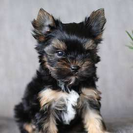 SHIRE YORKY DISPONIBLESS