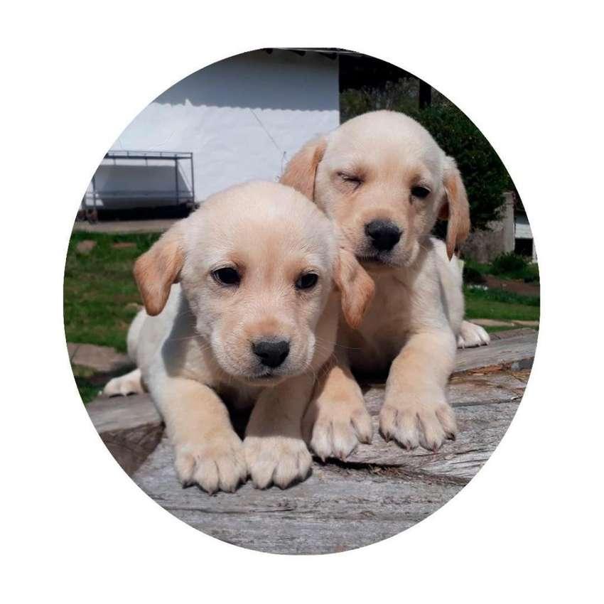 CACHORROS Labrador Retriever y muchas más razas CRIADERO CANINO 0