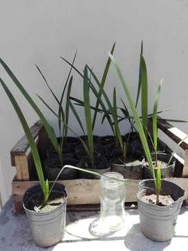 Plantines de palmera Phoenix canariensis