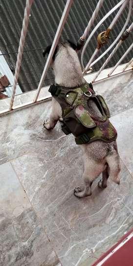 Vendo cachorro Pug de 7 meses