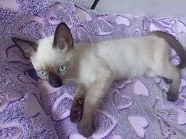 Gaticos siames