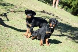 Rottweiler machos y hembras