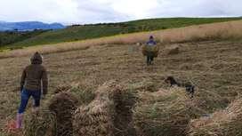 Venta Pacas De Heno Rey Grass Perenne, Bianual, Pasto Azul
