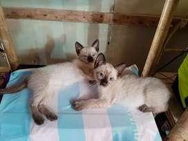 Vendo pareja de gatitos Siames de 2 meses, super aseados y comen saludable