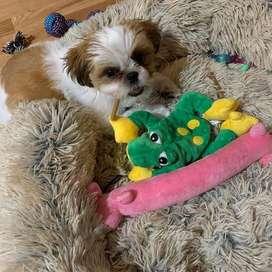 shitzu para navidad, el mejor regalo, cachorros de 48 dias