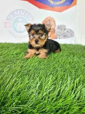 Yorkshire terrier mini buc