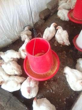 Se Vende Pollo para Carne