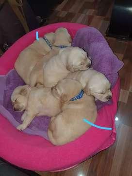 Golden retriever cachorros machos
