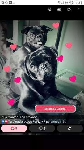 Pug negro busca novia