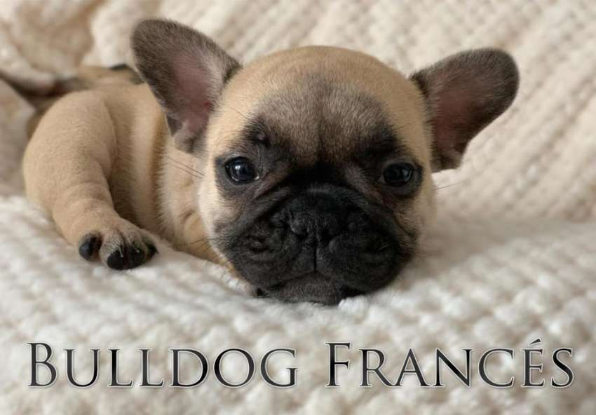 Bulldog Frances 0