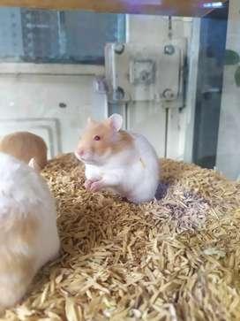 Hamster adultos y jóvenes