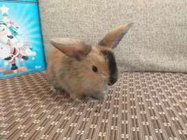 Vendo hermosos conejos miniloo