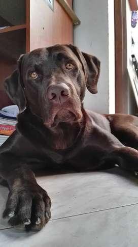 Labrador chocolate para monta