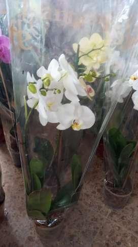 Venta de orquídeas Phalenopsis