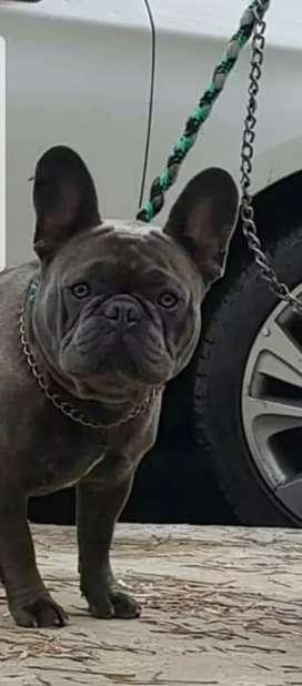 Macho bulldog francés BLUE para servicio