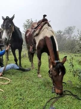 Vendo caballo pinto