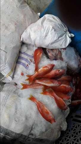 Venta de pescado ; bonito , albacora , pargo ,
