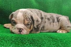 Bulldog inglés exóticos machos 50 días