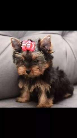 Cachorros yorkshire terrier a la venta