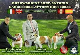 Bulldog Ingles Servicio de Monta