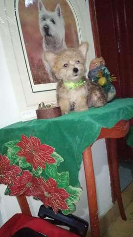 Hermoso yorkshire terrier macho