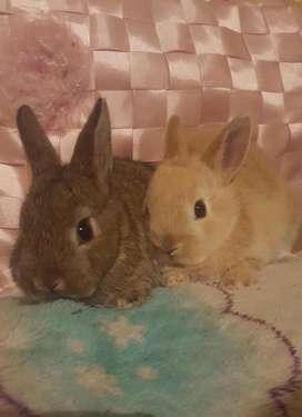 Conejos holandes enano