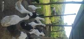 Vendo lote de patos