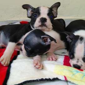 Boston Terrier a La Venta
