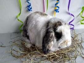 Conejos reproductores Belier. Bogota