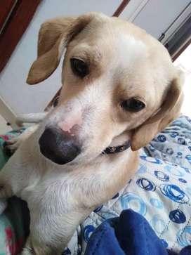 Perrito hermoso beagle limon, edad 10 meses en adopcion