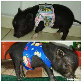 Cerdos bietnamitas miniatura