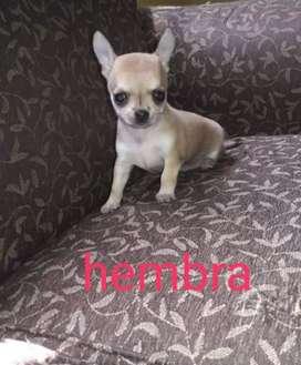 Chihuahuas hembras de bolsillo cabesa de manzana