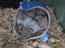 Preciosos hamsters sirios