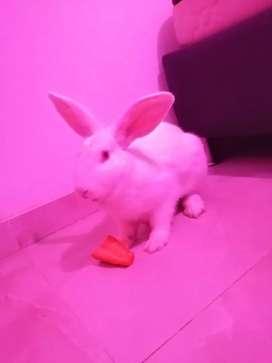 Se vende conejo Blanco de nueva Zelanda en 20.000