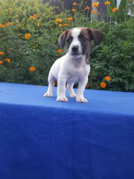 Sanitos Jack Russell Terrier