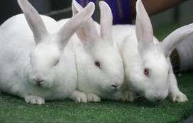 Conejos Nueva Zelanda y rusos en Bogota