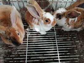 Vendo conejos raza rex en Bogotá