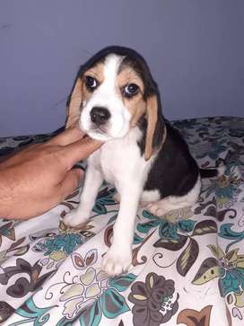 Hermoso beagle muy tierno 49dias