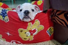Bulldog Ingles 100% originales